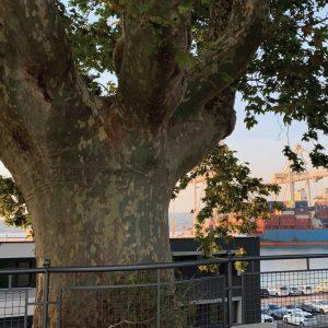 Koprska drevesa